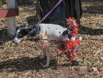 Crippled dog with doggie wheelchair decorated with flowers. Crippled dog with doggie wheelchair walks around decorated with flowers royalty free stock photo