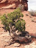 Crippled Tree. In the desert Stock Photos