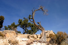 Crippled Tree. In the Grand Canyon National Park Stock Photo