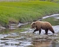 Crique d'Alaska de croisement d'ours brun Photo libre de droits