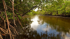 Crique et palétuviers saumâtres en Floride Photos libres de droits