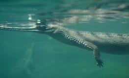 Crirically Zagrażał Gharial krokodyla dopłynięcie Pod wodą Zdjęcia Stock