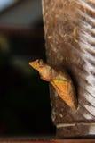 Crisálida de la ejecución de la mariposa Fotos de archivo libres de regalías