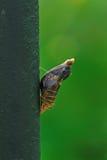 Crisálida de la mariposa Foto de archivo libre de regalías