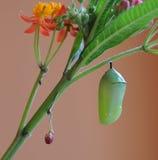 Crisálida de la mariposa de monarca y planta del milkweed Imagen de archivo