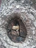 Crisálida de la mariposa en un tronco fotos de archivo libres de regalías