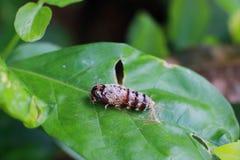 Crisálida de la naturaleza del insecto en la hoja verde fotos de archivo