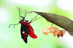 Crisálida do formulário da mudança da borboleta fotos de stock