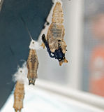 Crisálida preta de Swallowtail imagens de stock royalty free