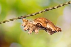 Crisálidas comuns dos aristolochiae de Rose Pachliopta fotos de stock