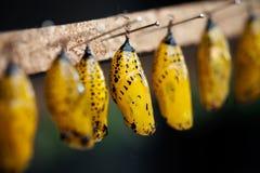 Crisálidas de la mariposa Fotografía de archivo