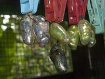 Crisálidas de la mariposa foto de archivo