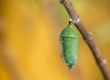 Crisálidas de la mariposa de monarca Fotos de archivo