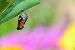 Crisálidas de la mariposa llana del tigre fotografía de archivo libre de regalías