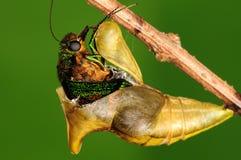 Crisálidas de la mariposa, proceso del eclosion 4/8 Imagen de archivo libre de regalías