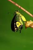 Crisálidas de la mariposa, proceso del eclosion 6/8 Fotos de archivo libres de regalías