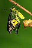Crisálidas de la mariposa, proceso del eclosion 7/8 Imagen de archivo libre de regalías