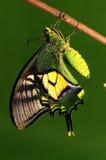 Crisálidas de la mariposa, proceso del eclosion 8/8 Imagenes de archivo