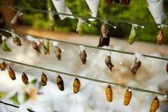 crisálidas de la mariposa que cuelgan en un hilo Imagenes de archivo