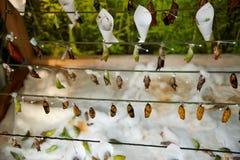 crisálidas de la mariposa que cuelgan en un hilo Fotos de archivo