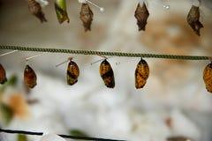 crisálidas de la mariposa que cuelgan en un hilo Imagen de archivo libre de regalías