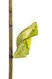 Crisálidas de oro de la mariposa del aeacus de Birdwing Troides Imagenes de archivo