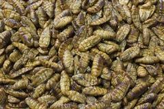 Crisálidas del gusano de seda Fotografía de archivo
