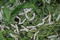 Crisálidas del gusano de seda, capullos de seda Fotos de archivo libres de regalías