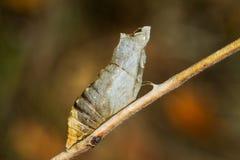 Crisálidas del machaon de Papilio/mariposa del swallowtail Imagenes de archivo