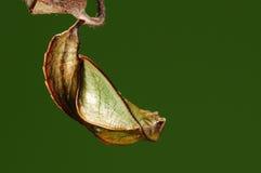 Crisálidas, miah de Neptis Imagen de archivo libre de regalías