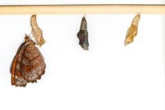 Crisálidas y mariposa angulosas del echador Imagenes de archivo