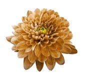 Crisântemo alaranjado da flor Floresça no fundo isolado branco com trajeto de grampeamento closeup Nenhumas sombras Fotografia de Stock Royalty Free
