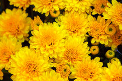 Crisântemo amarelo fotografia de stock