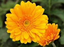 Crisântemo amarelo Fotografia de Stock Royalty Free