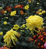 Crisântemo amarelo Foto de Stock Royalty Free