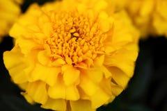 Crisântemo amarelo Imagens de Stock Royalty Free