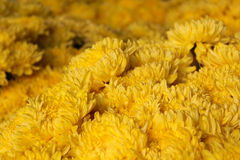 Crisântemo amarelo Imagem de Stock