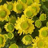 Crisântemo amarelo bonito imagem de stock