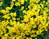 Crisântemo amarelo da flor Foto de Stock