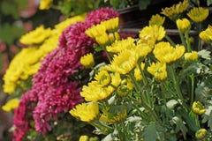 Crisântemo amarelo e magenta bonito imagem de stock