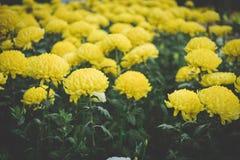 Crisântemo amarelo flor de florescência do áster no jardim fie da flora fotos de stock royalty free