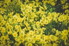 Crisântemo amarelo Flor de florescência no jardim campo da flora foto de stock