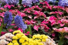 crisântemo amarelo, jacinto roxo, flor do Natal em garde imagem de stock