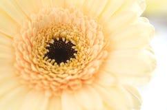 Crisântemo amarelo macio Imagens de Stock Royalty Free