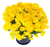 Crisântemo amarelo no flowerpot Fotografia de Stock