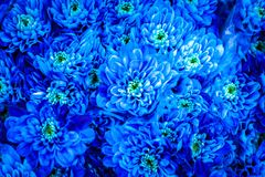 Crisântemo azul Foto de Stock Royalty Free
