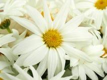 Crisântemo branco Imagem de Stock Royalty Free
