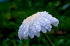 Crisântemo branco com gotas grandes da água de chuva Fotos de Stock