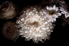 Crisântemo branco magnífico em um fundo preto Foto de Stock Royalty Free