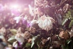 Crisântemo branco murcho Fotografia de Stock